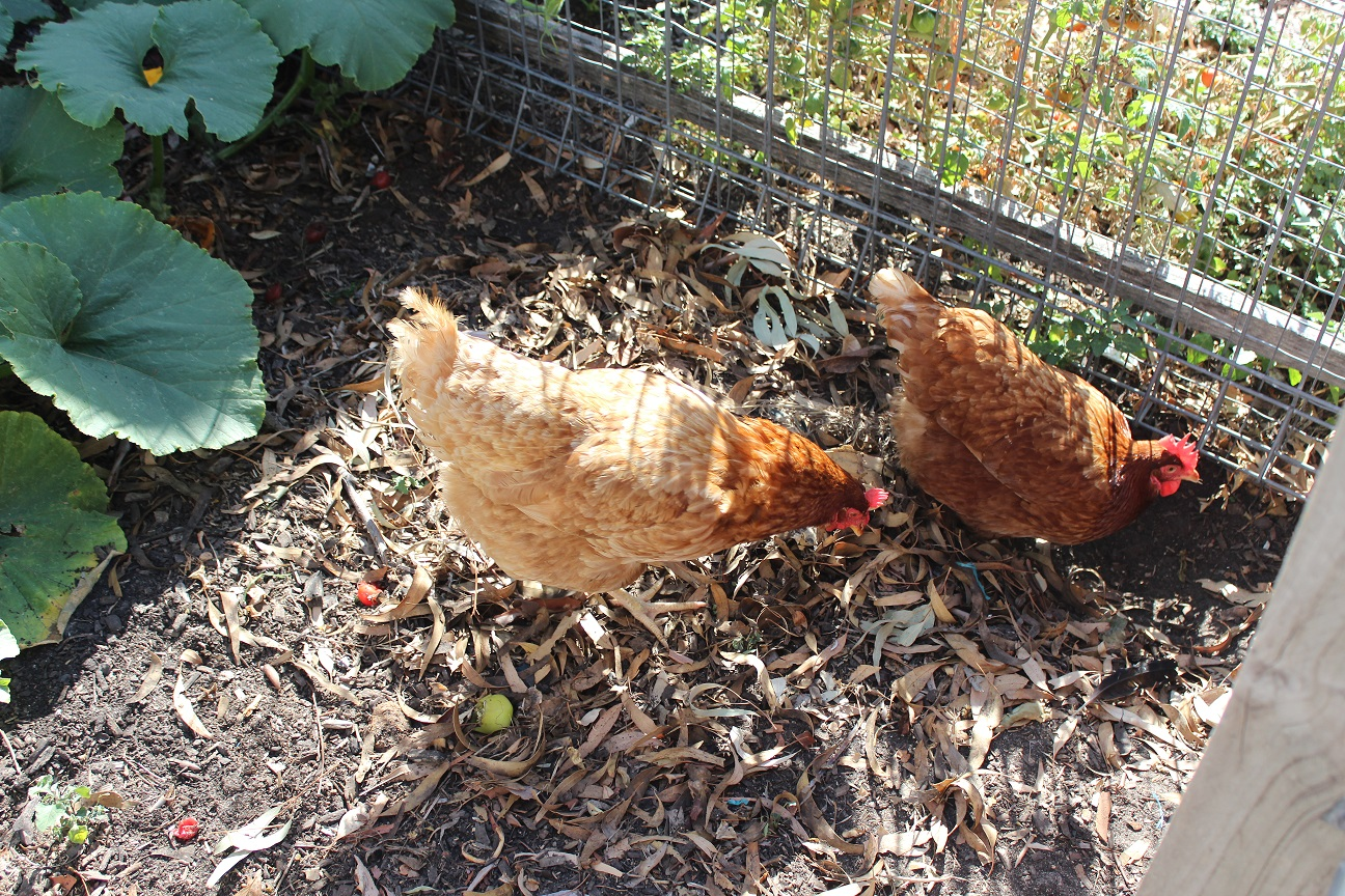 Our School Chooks!